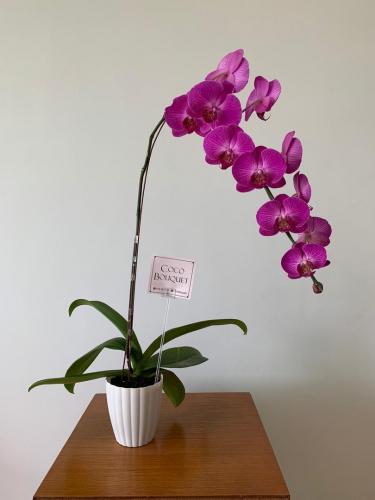 Live Purple Orchid