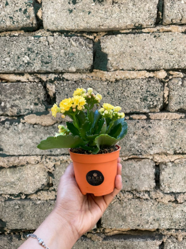 Kalanchoe Potted Plant – Yellow