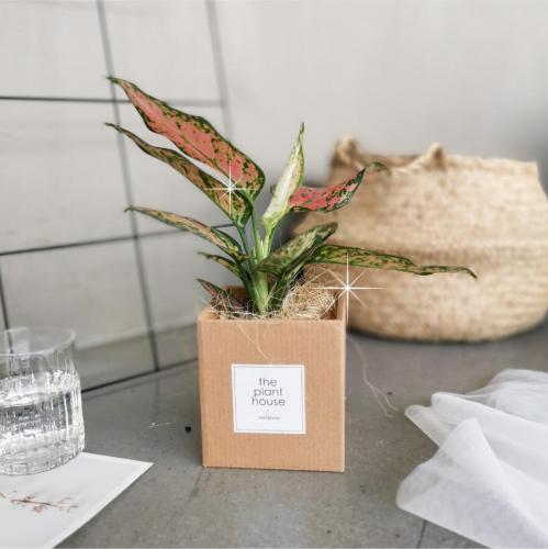 Aglaonema Ruby Plant Gift