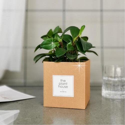 Peperomia Obtusifolia (Green) Plant Gift