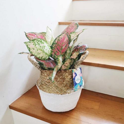 Aglaonema Ruby 2 Stems Plant Gift
